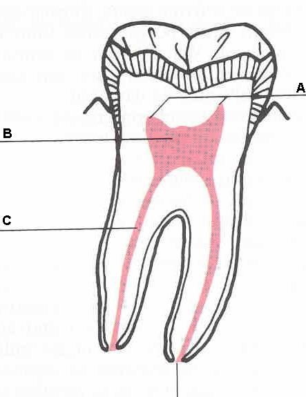 A=pulp horns, B=pulp chamber, C= pulp canal